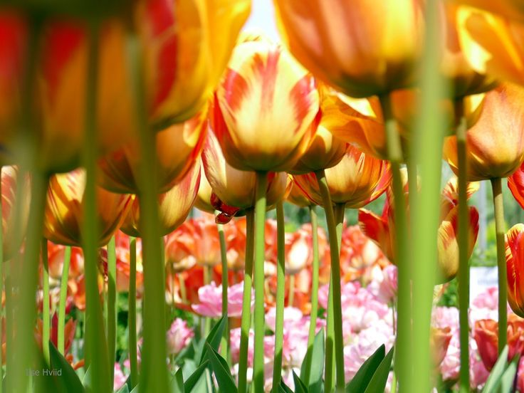 Garden tulips. Photograph, instant digital download,  JPEG file, photo art, floral wall decor. Instant  photo art, Red and yellow flower by IlseHviid on Etsy