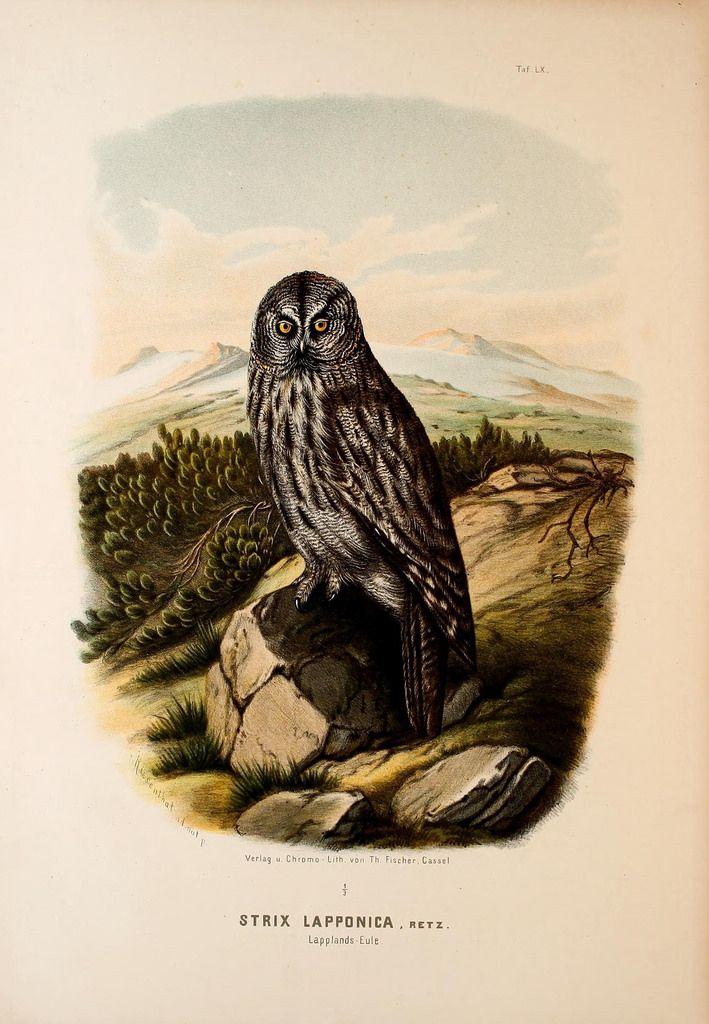 Die Raubvögel Deutschlands und des angrenzenden Mitteleuropas;. Cassel [Germany]Verlag von Theodor Fischer,1876.. biodiversitylibrary.org/page/47850816