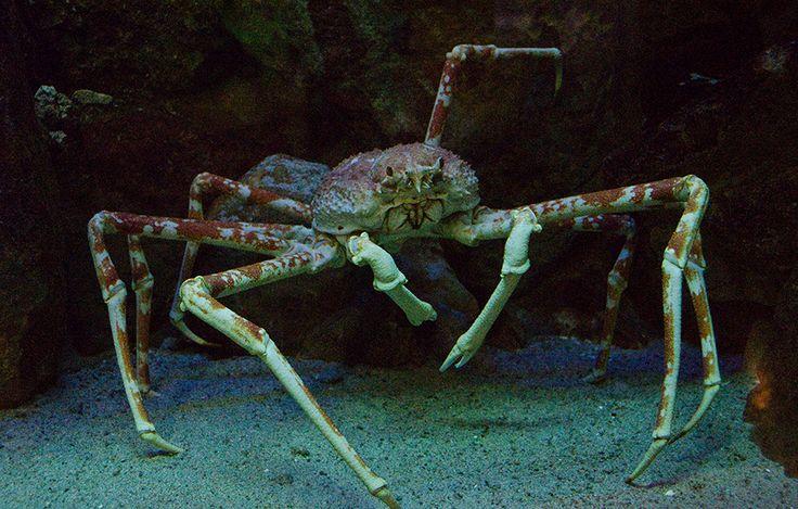 Japanische Riesenkrabbe Der Albtraum aller Spinnenphobiker wohnt in den Tiefen des Pazifiks: Die Japanische Riesenseespinne, auch Japanische Riesenkrabbe genannt, ist der größte lebende Gliederfüßer der Welt. Sie ist eigentlich keine echte Spinne, sondern gehört zu den Krebstieren. Ausgestreckt kann sie bis zu 3,7 Meter lang werden und bringt fast 14 Kilogramm auf die Waage.