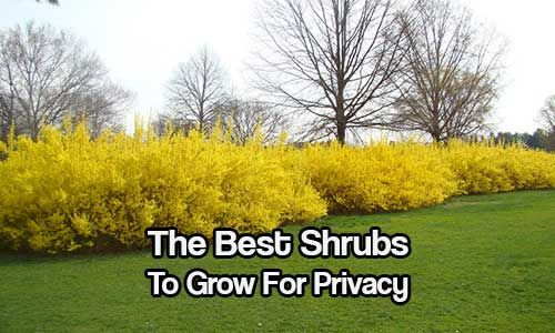 The Best Shrubs To Grow For Privacy If you live a little too close to your neighbor and you are on a tight budget or maybe don't want a 6 foot plain old fence, there are many other options available for you in the form of shrubs. Shrubs can grow quickly, they can get very tall in height and have bea…