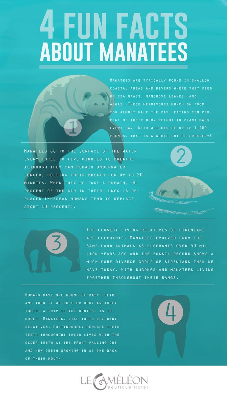 There are fewer than 20 #manatees living in the area's canals, here in our #Caribbean See here more facts: #infographic