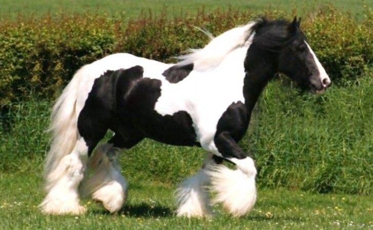 Blanco y negro caballos, caballo gitano, ponis, Animales ...