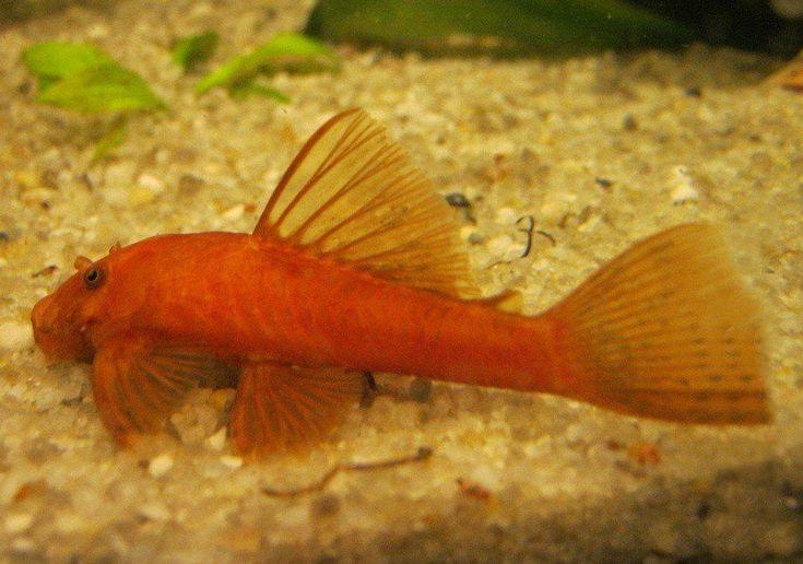Freshwater Fish Species Profiles Freshwater Fish Tropical Fish Tanks Plecostomus