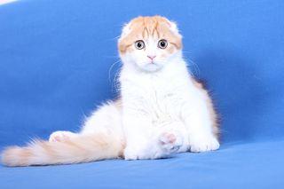 harga kucing scottish fold,jual kucing scottish fold,kucing scottish fold untuk dijual,fold murah,
