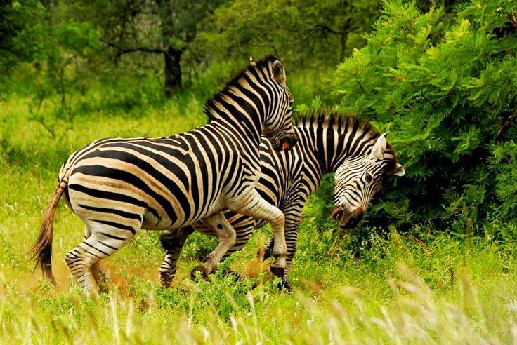 Zebras fighting in the Kruger.