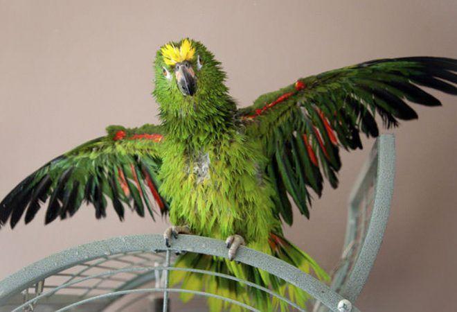 Video Ova Papiga Nasmijat Ce Vas Do Suza Psuje Kao Kocijas Dnevno Hrdnevno Hr Parrot Parrot Cage Parrot Toys