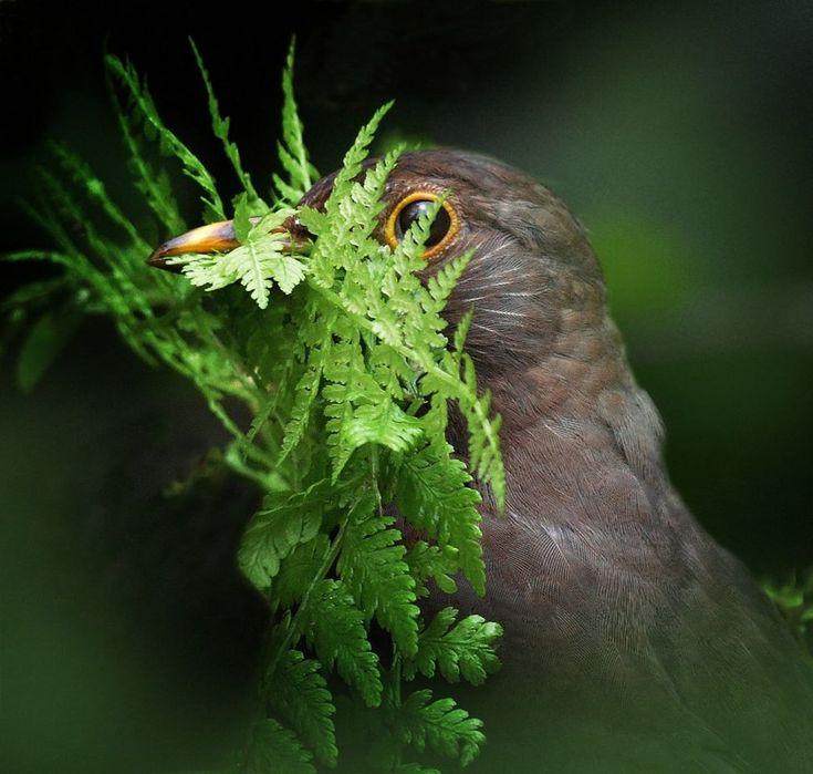 A female blackbird looking through a green fern leaf, pausing looking for vegetation to build her nest in #Gwynedd, Wales, seen by #AlanPrice.