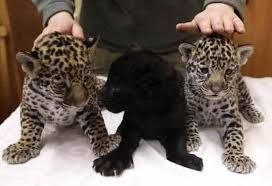 Image result for tigers cheetahs leopards