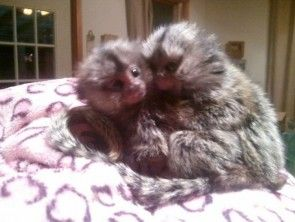 Pygmy Marmoset Monkeys for Sale | Pygmy and cotton eared Marmoset monkeys for sale