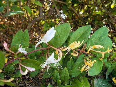 """Αγιόκλημα: ένα άγνωστο βότανο: Αγιόκλημα: Μία θεραπεία με γλυκό άρωμα που ηρεμεί φλεγμονές, μολύνσεις και μεταδοτικές ασθένειες. Εάν έχετε ένα αγιόκλημα να ανθίζει στον κήπο σας τότε ένα καταπληκτικό φαρμακευτικό φυτό υπάρχει δίπλα σας. Ένα από τα πιο σημαντικά βότανα στην παραδοσιακή Κινέζικη ιατρική, αυτή η εύθραυστη ομορφιά, είναι κάτι παραπάνω από """"ένας κισσός"""". Τα λουλούδια έχουν αντιβιοτικές, αντιφλεγμονώδεις, αντιβακρηριακές και αντιμικροβιακές ιδιότητες. - See more at…"""