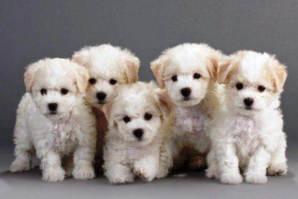 6 Allergiker Hunde Rassen Fur Tierlieber Mit Schnupfen Allergiker Fur Hunde Mit Rassen Hunde Rassen Haustiere Hunde