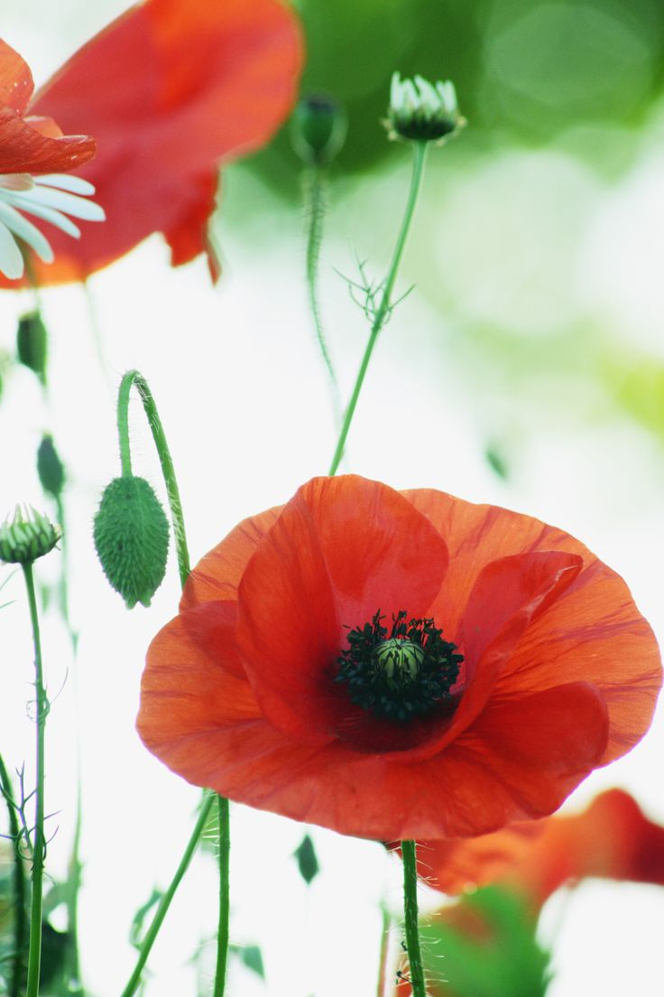 411 Best Poppies Images On Pinterest Poppies Red Poppies And