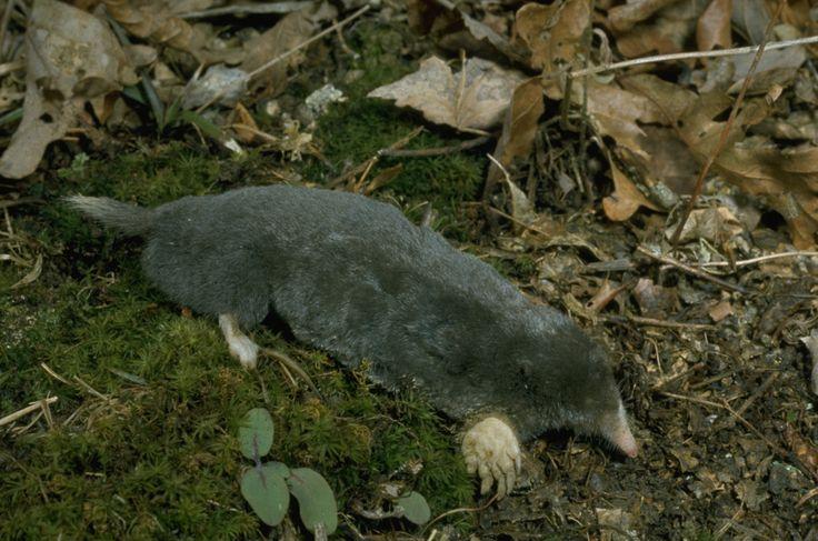 hairy-tailed mole