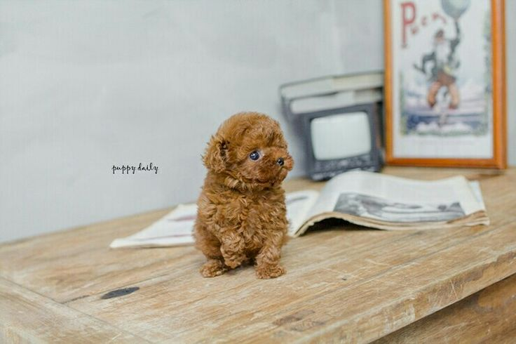 Tiny Red poodle puppy, Male, looking for a new home. He