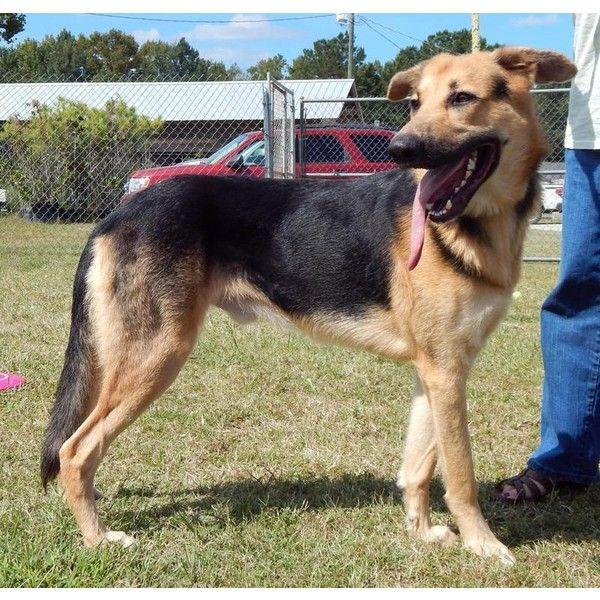 Petfinder Adoptable Dog German Shepherd Dog