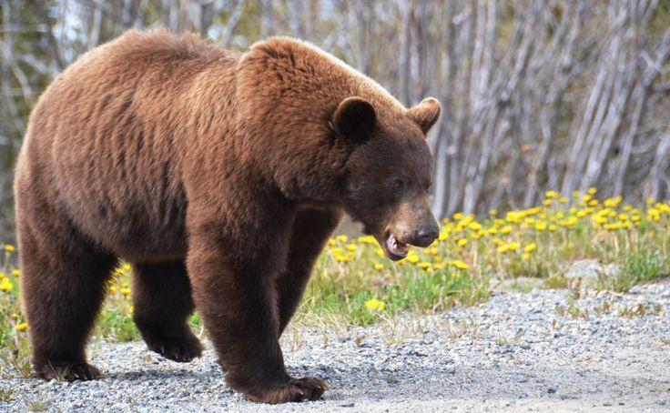 бурый медведь и гризли различия: 4 тыс изображений найдено в Яндекс.Картинках