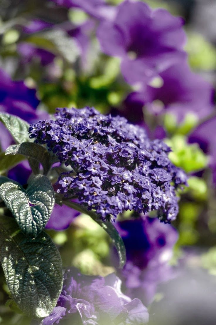 Heliotrope Lovely perfume that floats out to meet you. Great on path to front door