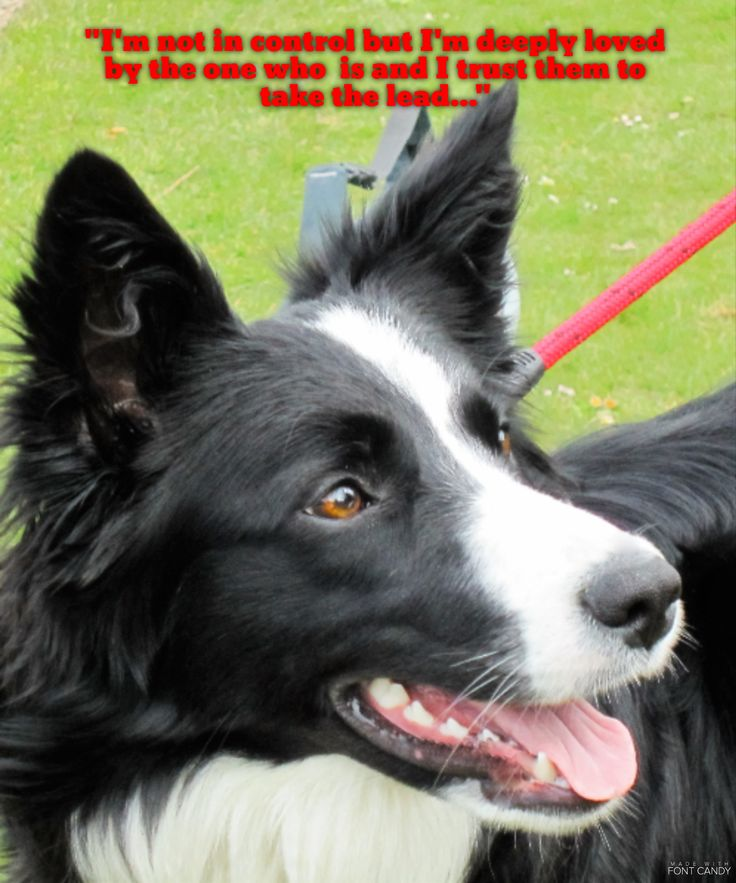 """""""I'm not in control but I'm deeply loved by the one who is and I trust her to take the lead..."""" says Asha the border collie..."""