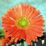 """""""Plant taxonomy classifies gerbera daisy flowers as Gerbera jamesonii. 'African daisy' is listed as a common name for this plant, since it is indigenous to South Africa."""""""