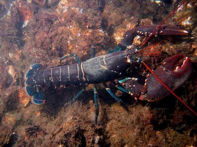 Lobsters How Long Can The Live Out Of Water 99
