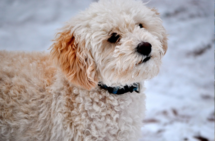 maltese mixed with poodle the 25 best maltese poodle mix ideas on pinterest 5619