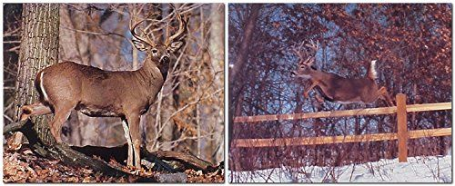 Look Wow! This unique wall poster adds an instant character with a decorative touch to your home. You'll surely enjoy your surroundings by viewing this wonderful piece of art. This poster captures the image of whitetail buck deer walking in a forest looking at something which is sure to make this poster a centre of attraction and grab lot of attention. It ensures high quality with high degree of color accuracy. Order this poster today and enjoy your surroundings.