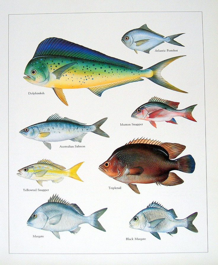 Dolphinfish, Australian Salmon, Mutton Snapper, etc. Vintage 1984 Fish Book Plate. $10.00, via Etsy.