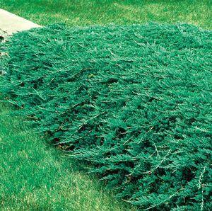 Blue Rug Wiltoni Juniper Juniperus Horizontalis Wiltonii