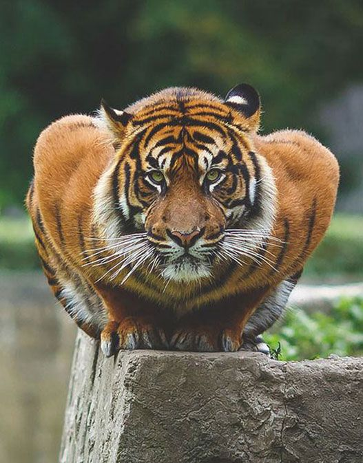 "[Crouching tiger, just a big kitty.] **[""Justs a big kitty? Wanna come overs and petz me? """