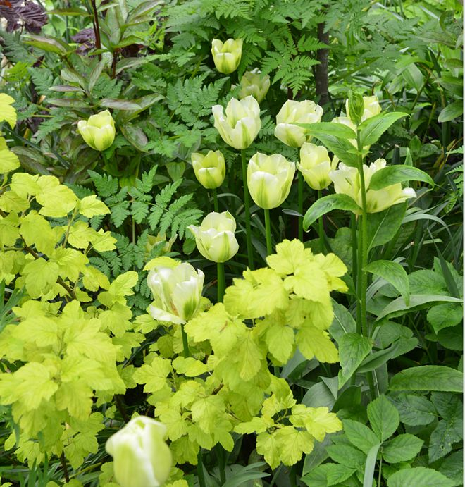 Spring Green tulips with contrasting green foliage shrubs and ferns. Lovely.