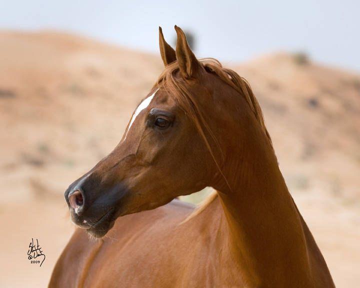 Euphoria SPA :: Dubai Arabian Horse Stud
