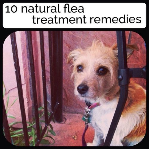 10 Natural Flea Treatment Remedies  Personally I'd avoid the salt one for the furniture & floors as it's melts & gets messy in high humidity.  Also be careful with essential oils, if you have cats - as they don't do well with them.
