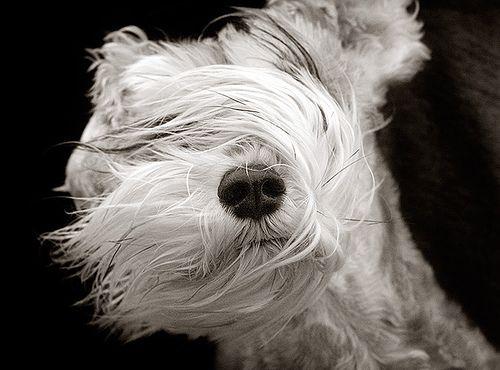 windBeards, Photos, Dogs Photography, Pets, Schnauzers, Hair, Animal, Wheaten Terriers, Caramel Apples