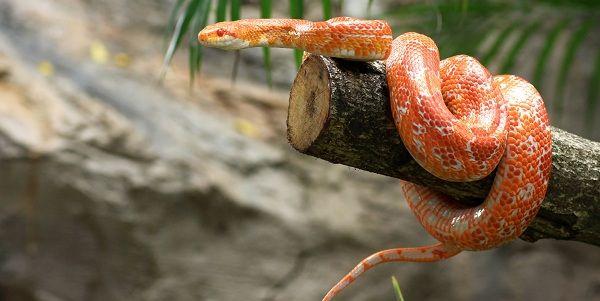 Sabes El Significado De Soñar Con Serpientes De Dos Cabezas Las Culturas Asiáticas Y Nativas Creen Que La Ser Serpientes Serpiente Mascota Serpiente Del Maiz