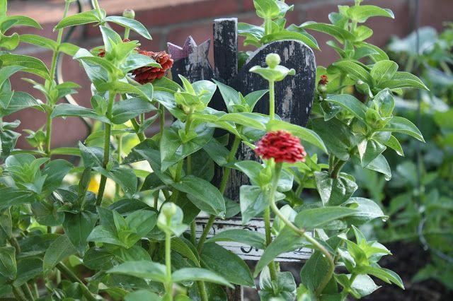 fall planting guide. zinnias in garden, rooster garden sign