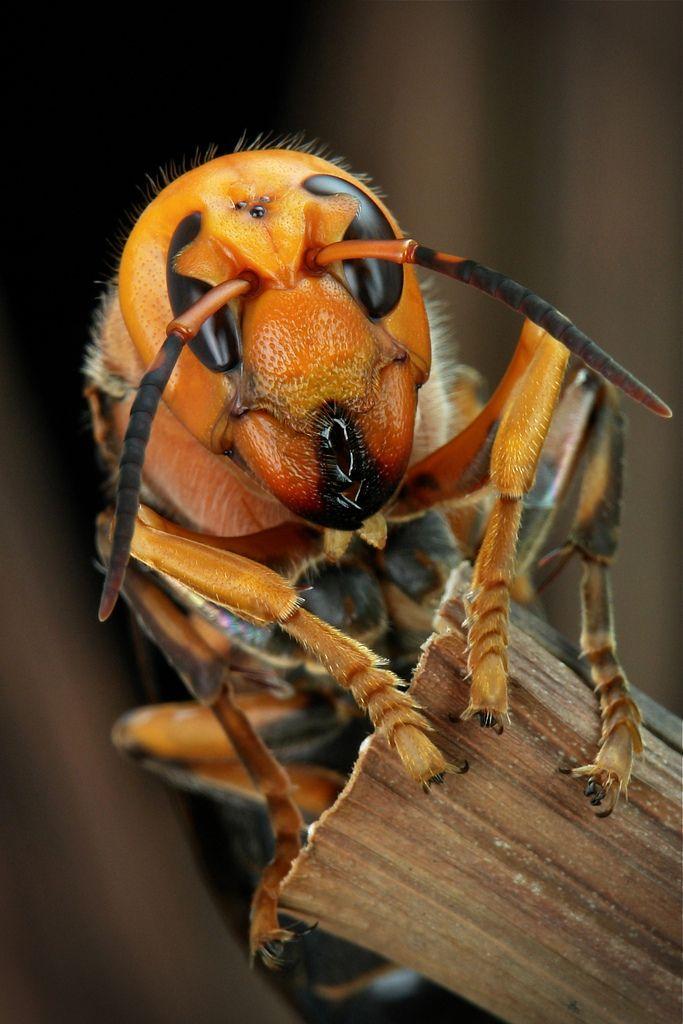 chinese giant hornet - 683×1024