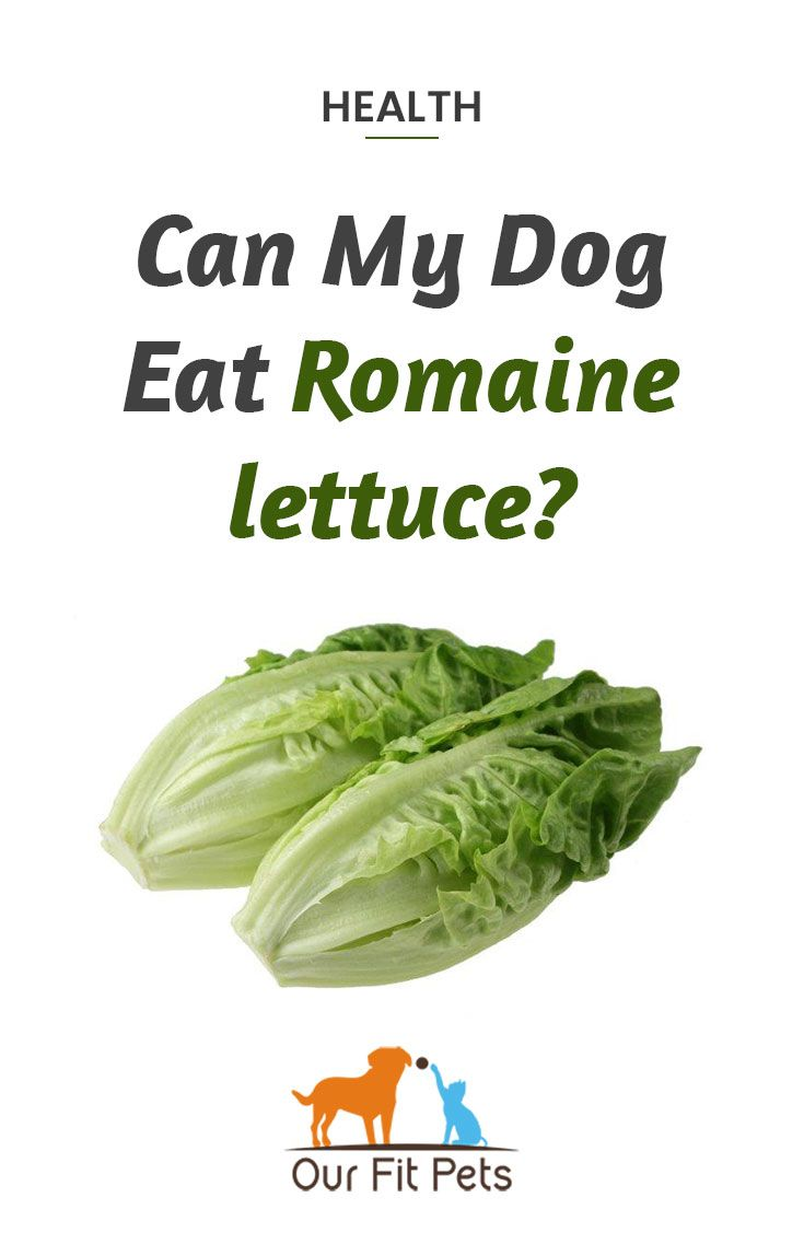 Can Dogs Eat Lettuce Is Lettuce Safe For A Puppy Https Www Simplypets Com Can Dogs Eat Dog Eating Lettuce