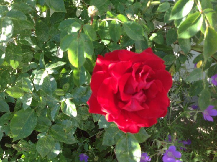 Ingrid Bergman Rose