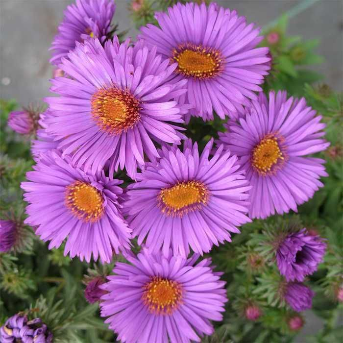 Purple Dome Aster Jung Garden And Flower Seed Company