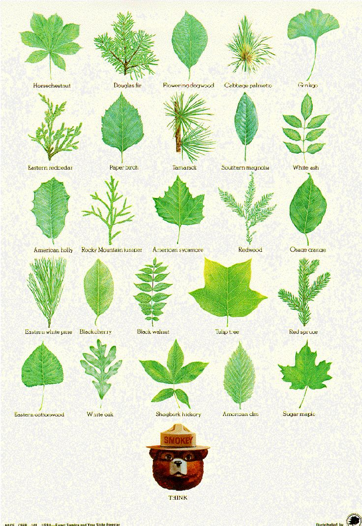 Leaf identification post from Smoky Bear and the US Forestry Service