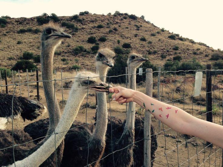 Bird Fest in the Karoo, South Africa
