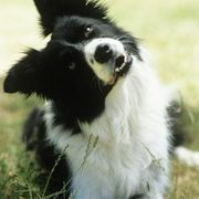 One of the smartest of dog breeds, the border collie is not a pet for the faint hearted. It is a lively and obedient breed that can be easily trained. Border collies were bred to work, however, and need a job to help burn nearly endless wells of energy. If you live an active lifestyle, have a yard to play in and time to dedicate to training a...