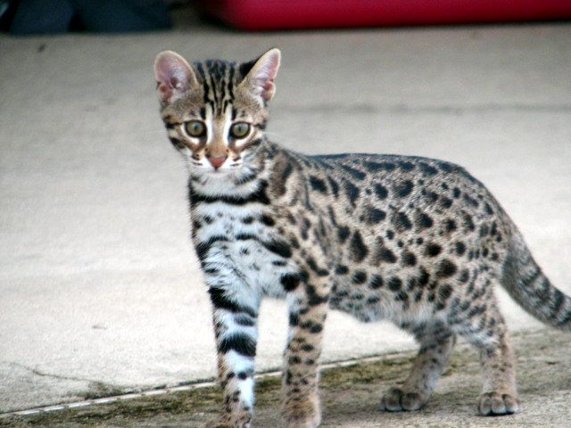 This is an F1 Bengal, notice how much it resembles the Asian Leopard Cat.