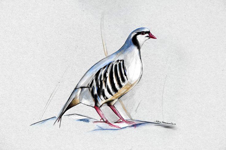 Chukar   Birds of Lesvos   12 Illustrations for 2018 Calendar Agra Lesvos Association