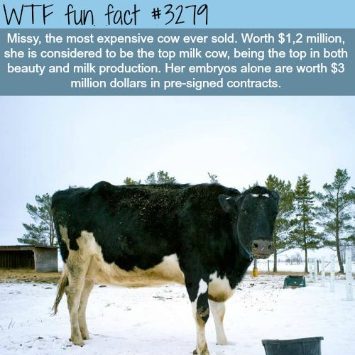 The Most Expensive Cow In The World   WTF Fun Facts