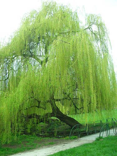I luv Weeping willow tree's. They remind me of my grandma. She had a huge one in her front yard.