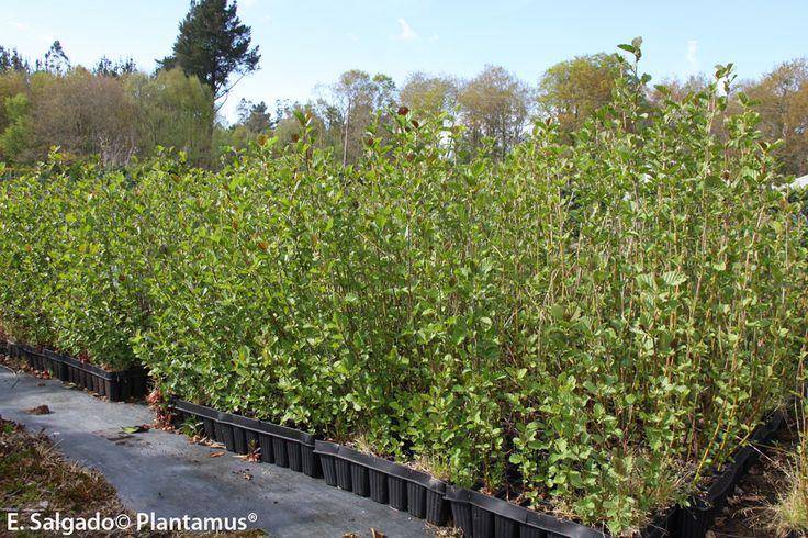 Aliso, Alnus glutinosa, ameneiro. Especie autóctona en Galicia ideal para zonas con mucha agua. http://www.plantamus.es/venta-de-arboles-plantacion-plantones