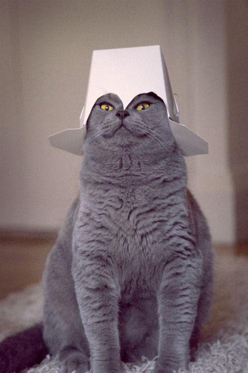 Takeaway Cat?Hats, Kitty Cat, Funny Cat, Food, Boxes, Fat Cat, Funny Animal, General Tso, Baby Cat
