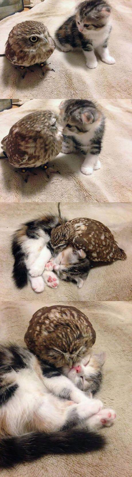 Baby owl & cat