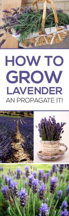 Lavendel kweken